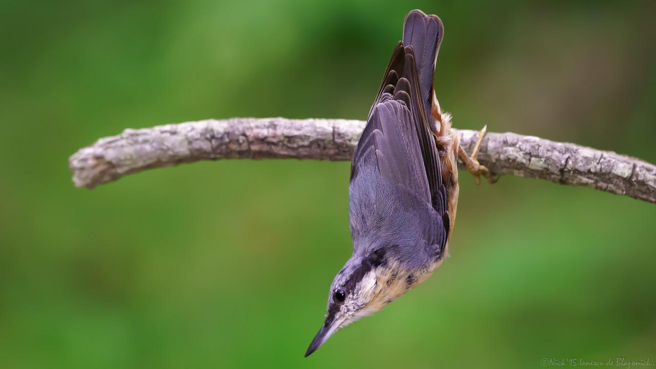 Mostrar Mensajes - nibbiBIRDS-3812